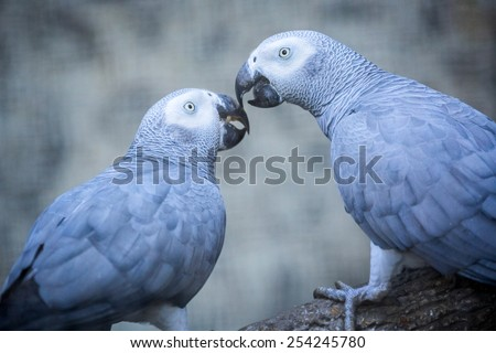 Gray African Parrot. - stock photo