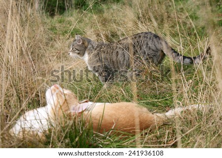 Gray and Ginger cats playing on meadow. Sunny summer day. - stock photo