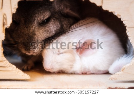 Gray and white chinchilla are sitting in the house
