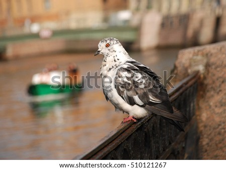 Gray and white pigeon with an orange eye in the background St. Petersburg.
