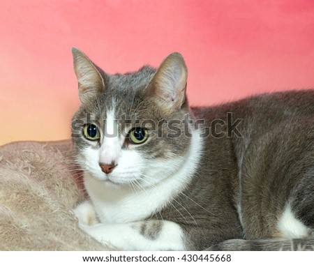 gray and white tabby laying on tan blanket with textured pink and yellow background, looking to the side