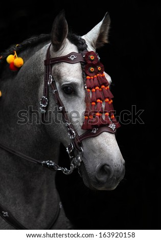 Gray andalusian horse stallion in spanish decoration bridle, aganst black background - stock photo