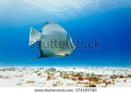 Gray Angelfish Pomacanthus arcautus swims above white sand in Caribbean sea