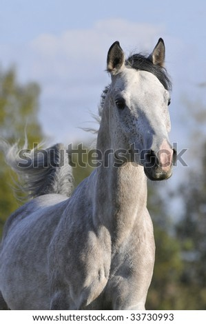 gray arabian horse portrait in gallop - stock photo