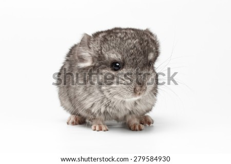 Gray Baby Chinchilla Loocking in camera on white Background