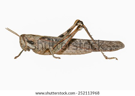 Gray Bird Grasshopper-Isolated on White Background - stock photo