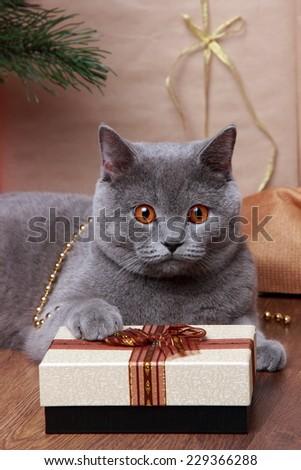 gray british cat - stock photo