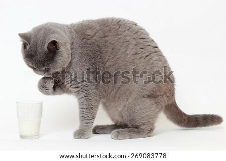 gray British cat drinking milk - stock photo