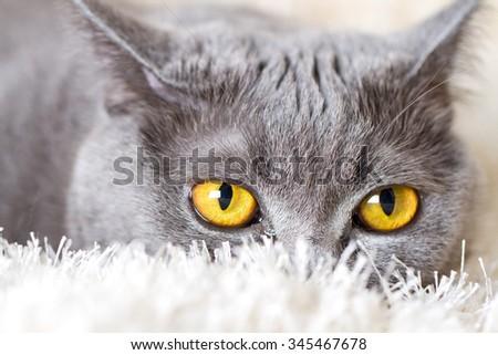 gray British cat hiding in the carpet, yellow eyes - stock photo