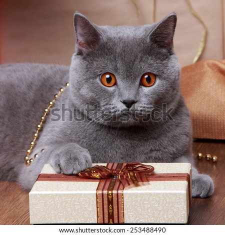 gray british cat with Christmas gifts on Holiday theme - stock photo
