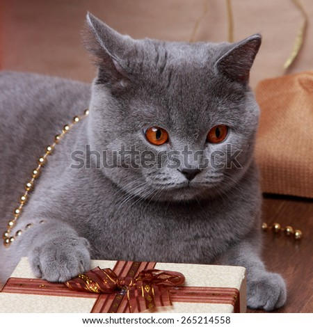 gray british cat with Christmas giftson Holiday theme - stock photo