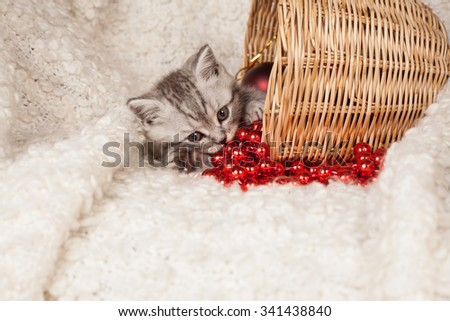 gray British kitten in a basket and a red New Year's beads