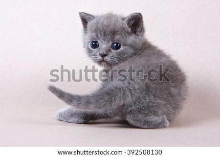 Gray British kitten looking into the camera - stock photo