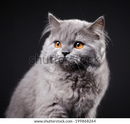 Gray british longhair kitten on black background, 4 month old - stock photo
