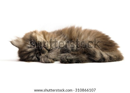Gray brown Persian kitten sleep on white background