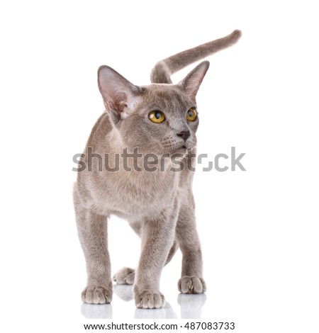 gray burmese cat portrait on white background