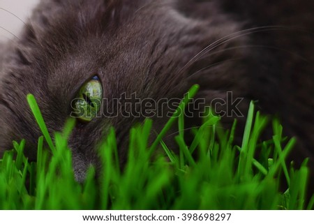 Gray cat and green grass close-up. A cat with green eyes. Food for cats