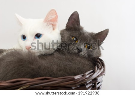 gray cat and white cat looking