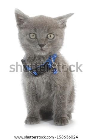 Gray cat baby kitty - stock photo