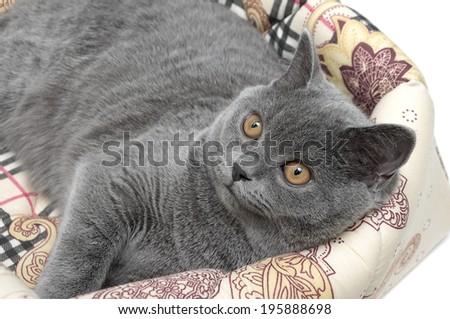 gray cat breed Scottish Straight closeup. horizontal photo. - stock photo