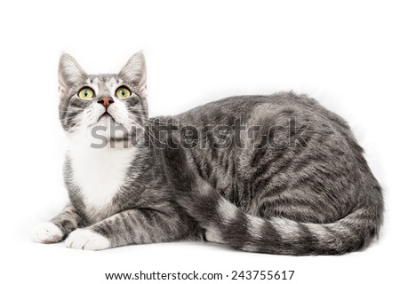 gray cat European