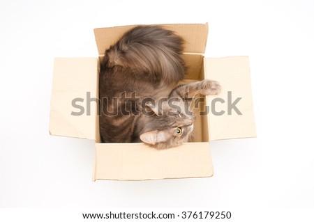 Gray cat in cardboard box - stock photo