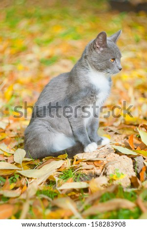 Gray cat in yellow leaves - stock photo