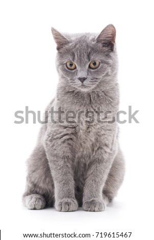 Gray cat isolated on a white background.