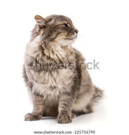 Gray cat isolated on white background - stock photo