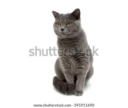 gray cat isolated on white background close up. horizontal photo. - stock photo