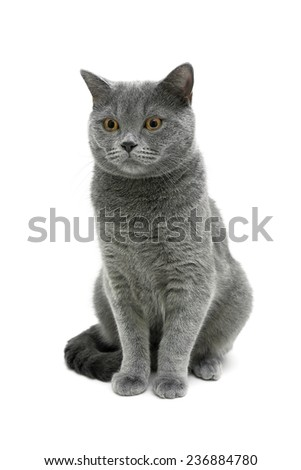 gray cat isolated on white background. vertical photo. - stock photo