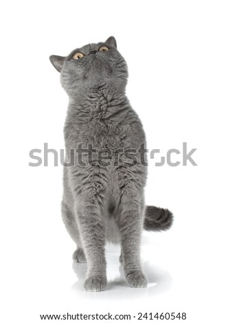 Gray cat looking up. Isolated on white background - stock photo