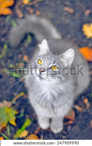 gray cat looking up on yellow leaves, focus on the head - stock photo