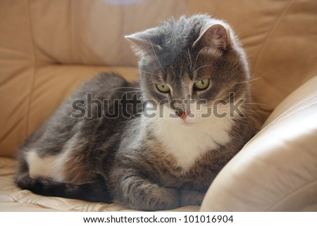 Gray cat lying on the leather sofa - stock photo