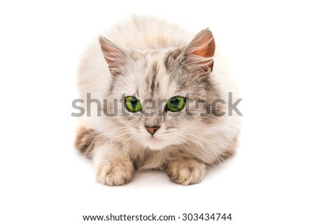 gray cat on a white background