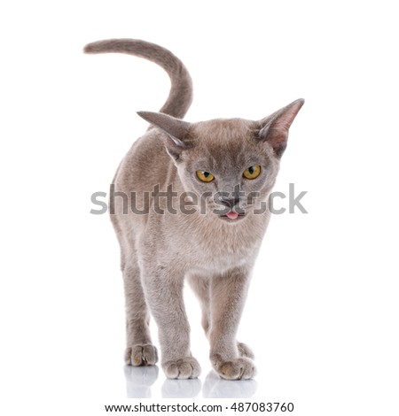gray cat on a white background with open mouth shows tongue, Licked