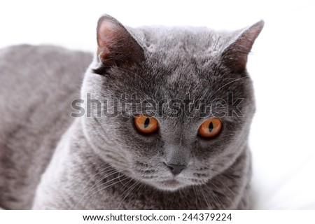 Gray cat on a white bed sheets