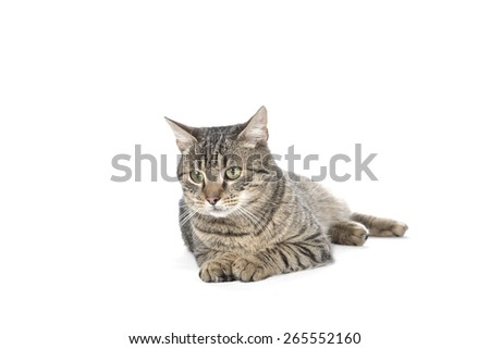 Gray cat on white background