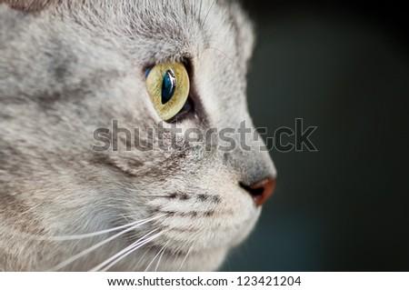 Gray cat portrait - stock photo