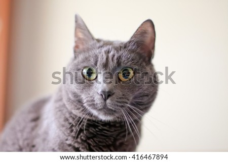 Gray cat portrait at home