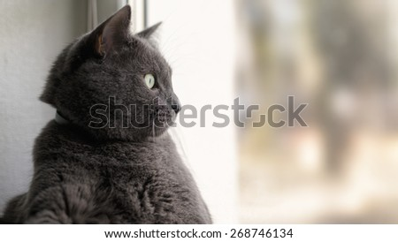 gray cat relaxed and looking through window - stock photo
