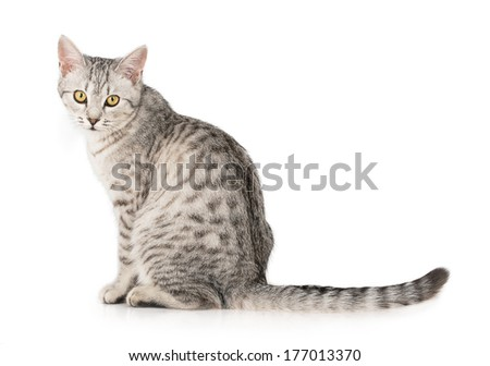 gray cat striped tabby kitten  - stock photo