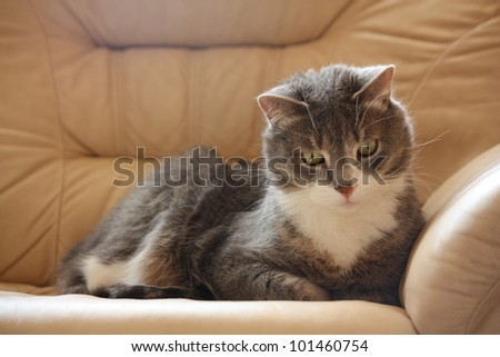 Gray cat taking nap on the brown leather coach - stock photo