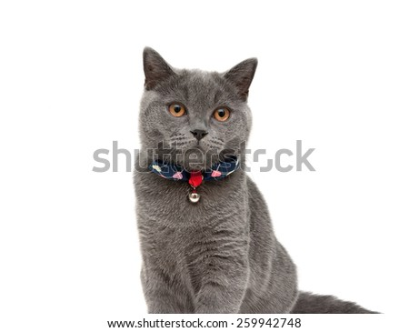 gray cat wearing a collar with bow and jingle isolated on a white background. horizontal photo. - stock photo