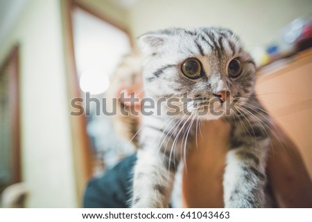 Gray cat with beautiful eyes on hands. Lop-eared cat.