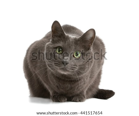 Gray cat with green eyes, Russian blue cat - stock photo