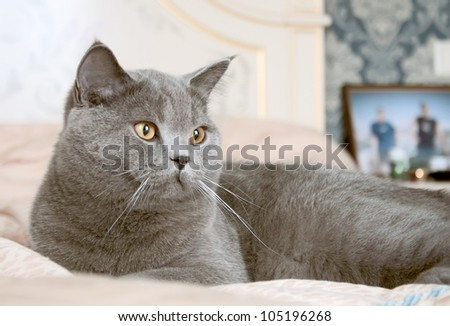 gray cat with red eyes lies on a bed on a blue coverlet - stock photo