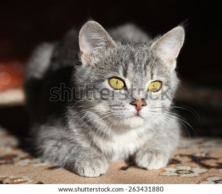 gray cat with yellow eyes plays, preparing to attack - stock photo