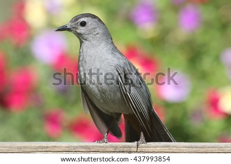 Gray Catbird (Dumetella carolinensis) on a fence with flowers - stock photo