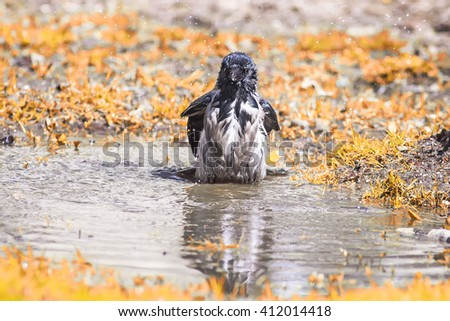 gray crow bathes in a spring puddle - stock photo